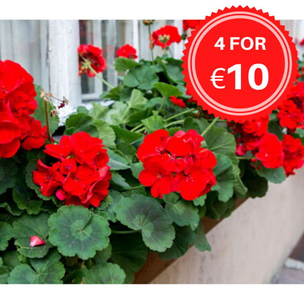 Picture of GERANIUMS (LOCAL DELIVERY ONLY)