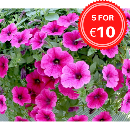 Picture of BASKET PLANTS - TRAILING (LOCAL DELIVERY ONLY)