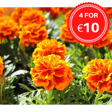 Picture of BEDDING PLANTS - Pack of 6 (LOCAL DELIVERY ONLY)