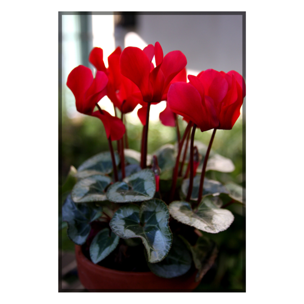 Picture of CYCLAMEN